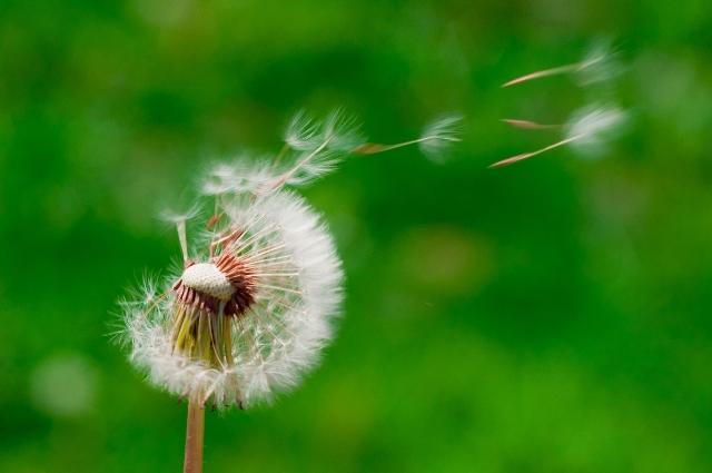 Семена одуванчиков
