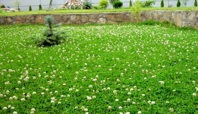 Клеверный газон