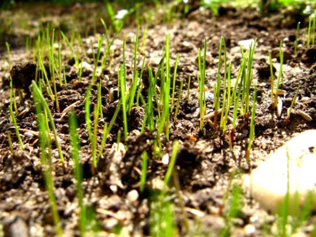 Ростки газонной травы