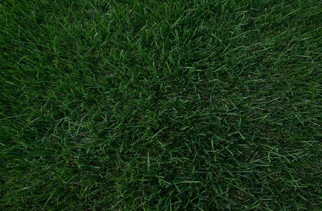 Трава для спортивного газона
