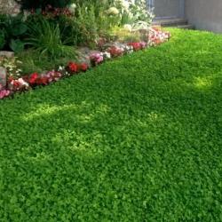 Дачный газон из клевера. Выгодно или хлопотно?
