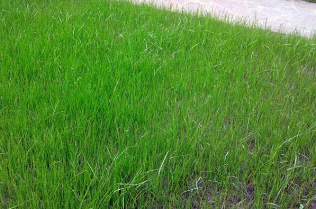 Молодой газон