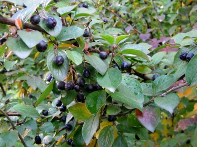 Плоды блестящего кизильника