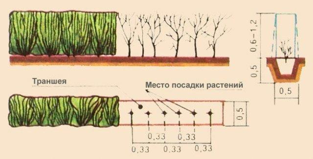 Схема посадки кизильника