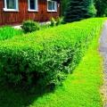 Бирючина – прекрасный материал для живых изгородей