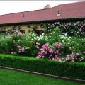 Живая изгородь на даче. Быстрорастущая, многолетняя, вечнозелёная – подбираем любые варианты