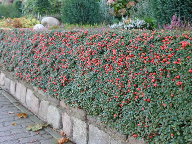 Живая изгородь осенью 1
