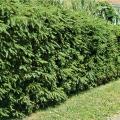 Живая и полезная изгородь из пушистой ели
