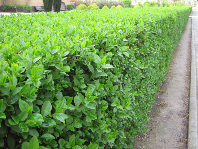 Изгородь из бирючины