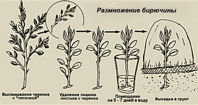 Размножение бирючины