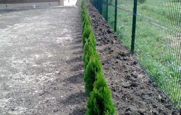 Живая изгородь из туи брабант