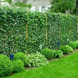 Правила и тонкости создания живой и эффектной изгороди на даче