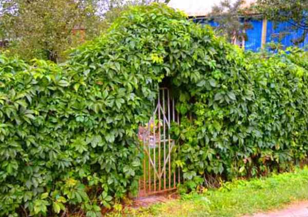 Живая изгородь из дикого винограда – сочетание простоты и роскоши