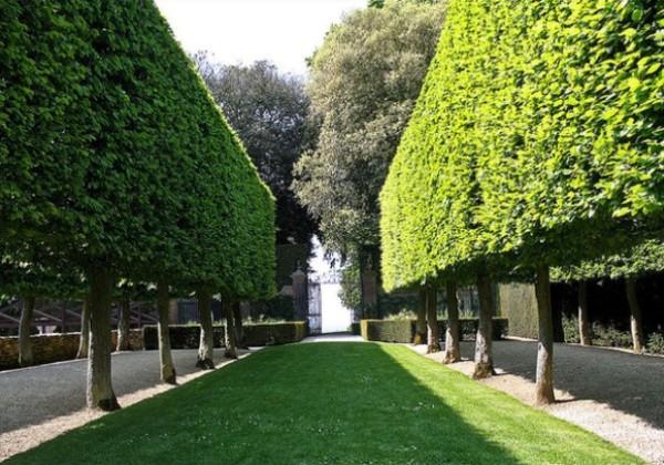 Живая изгородь из высоких деревьев