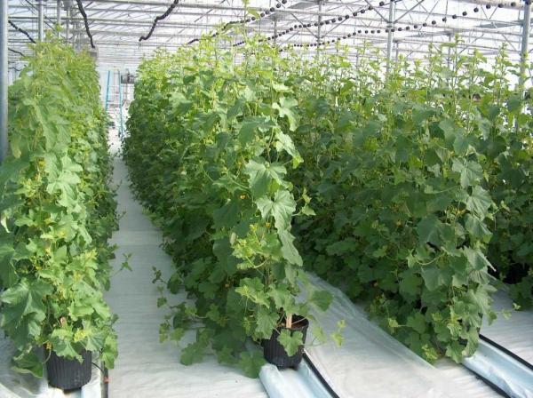 Шпалерный способ выращивания огурцов Герман