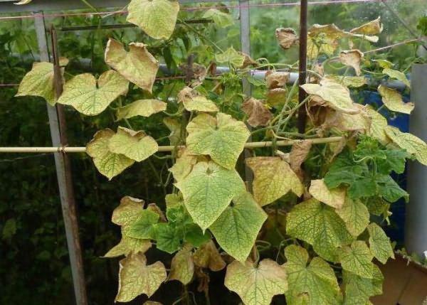 Полевая мозаика на листьях огурца