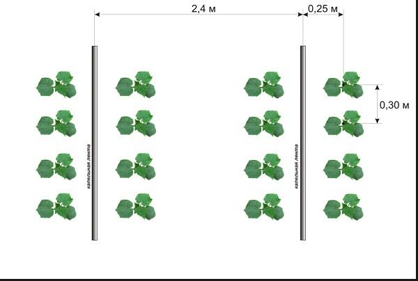 Схема высадки огурцов