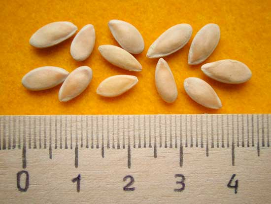 Семена для рассады