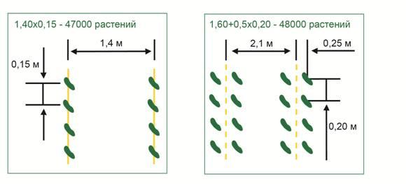 Схемы посева огурцов