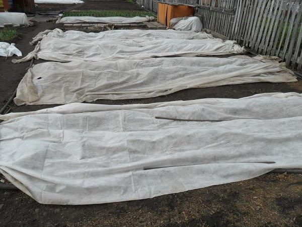 Укрывание рассады на время заморозков