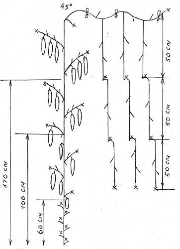 Схема прищипывания огурцов