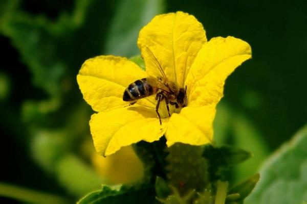 Пчелоопыляемый огурец