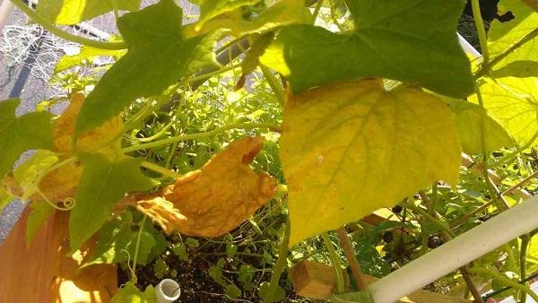 Пораженные листья огурцов