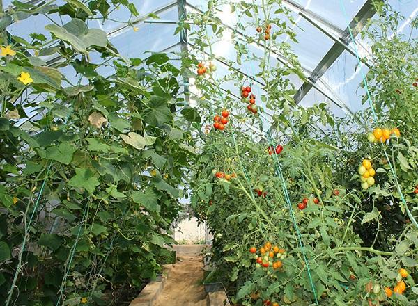 В теплице огурцы и помидоры