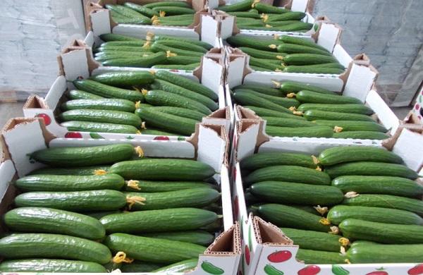 Выращивание огурцов на продажу