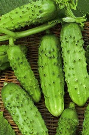 Огурцы сорта Серпантин