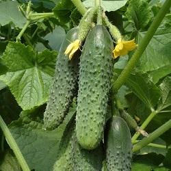 Корнишоны и пикули – урожай гибрида огурцов «Темп F1»